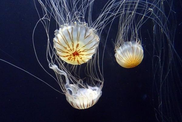 Смертельно опасная медуза «обезоружена»: ученые нашли противоядие